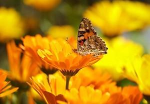 Garten-Schmetterling